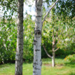 Birch trees in a summer — Stock Photo