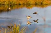 Wild ducks — Stock Photo