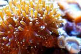 Euphyllia corall — Stock Photo