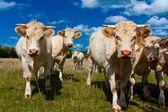 Normandie cow — Stock Photo