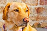 Orange dog — Stock Photo
