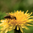 Honey bee pollinating dandelion — Stock Photo