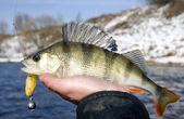 Bass in fisherman's hand — Stock Photo
