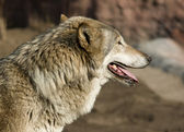 Wolf looking forward — Stock Photo