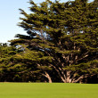 Stock Photo: Cypress Tree and Golf Green