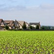 Houses Bordering Lettuce Field - Stock Photo