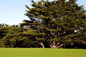 Cypress Tree and Golf Green — Stock Photo