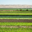 Stock Photo: Row Crops