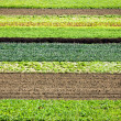 Row Crops — Stock Photo