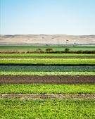 Cultivos en hileras — Foto de Stock