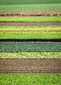 Rij gewassen — Stockfoto