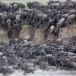 Stock Photo: Wildebeest