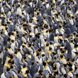 King Penguin — Stock Photo #12286131