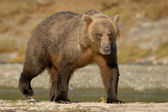 Grizzly Bear — Stock Photo