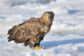 White-tailed Sea Eagle — Stock Photo