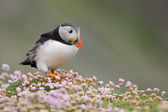 Puffin — Стоковое фото
