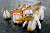 Great White pelican — Stock Photo