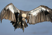 African White-backed Vulture — Stock Photo