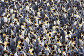 King Penguin — Photo