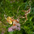 Stock Photo: Flirtation of spiders 9