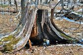 Very old stump 2 — Stock Photo