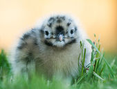 Baby seagull looking cute — Stock Photo
