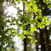 Green fresh leaves with sun behind — Stock Photo