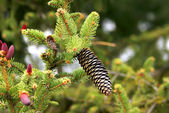Conifer cone — Stock Photo