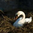 Swan in nest — Stock Photo #12410209