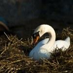 Swan in nest — Stock Photo #12410209