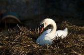 Swan in nest — Stock Photo