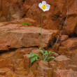 One flower on a rock — Stock Photo #12407637