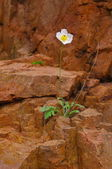 One flower on a rock — Stock Photo
