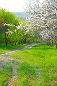 Sakura is blossoming — Stock Photo