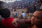 Während der balinesischen traditionellen hahnenkämpfe konkurrenz — Stockfoto