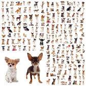 Grande gruppo di razza pura Chihuahua davanti a sfondo bianco