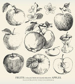 Collection of highly detailed hand drawn apples