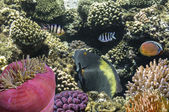 Tropické ryby na korálové útesy v Rudém moři