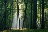 Sunbeam entering rich deciduous forest