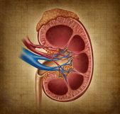 Lidské ledviny s texturou, grunge