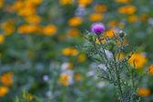 Fiore di cardo rosa su fondo orizzontale di fiori gialli