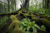 Roots of a tree with moss and green leafs in a misty forest after rain
