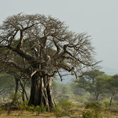 Baobab tree in landscape, Tanzania, Africa