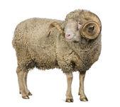 Arles Merino juh, RAM-mal, 5 éves, fehér háttér előtt áll