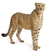 Gepard, Acinonyx Jubatus, 18 Monate alt, sitzt vor weißem Hintergrund