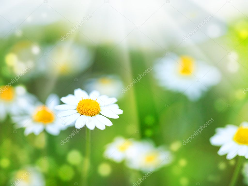 Abstract summer backgrounds with daisy flowers stock photo abstract summer backgrounds with daisy flowers photo by tolokonov voltagebd Images
