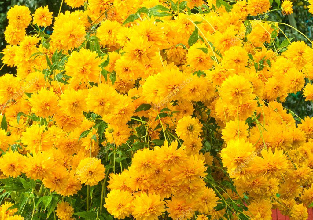 Many beautiful yellow flowers stok foto khvost 12223158 many beautiful yellow flowers stok fotoraf mightylinksfo