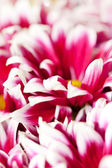 Fotografie Chrysanthemum Flowers