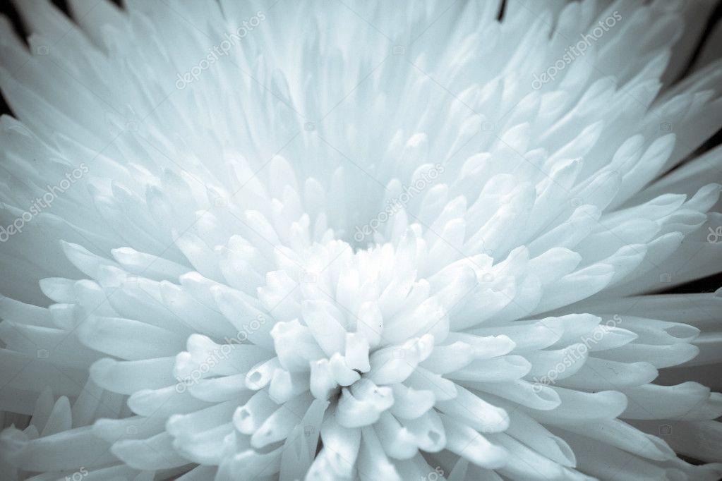 Close-up Chrysanthemum Flower