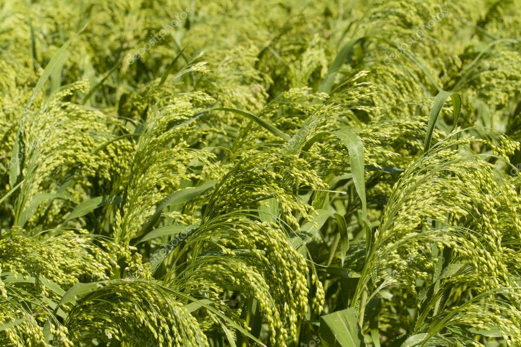 Field corn millet